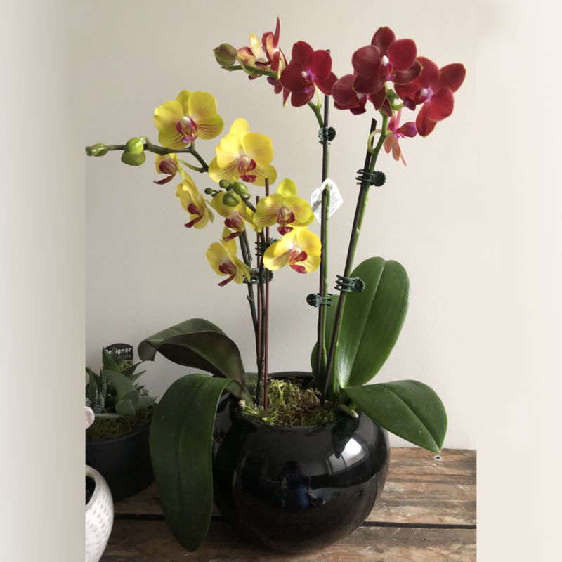 2 in 1 orchid plants